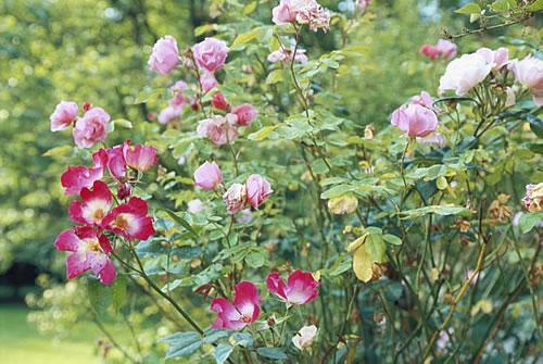 Den eigenen Rosengarten anlegen - Bild: David De Lossy / Photodisc / Thinkstock