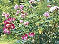 Den eigenen Rosengarten anlegen